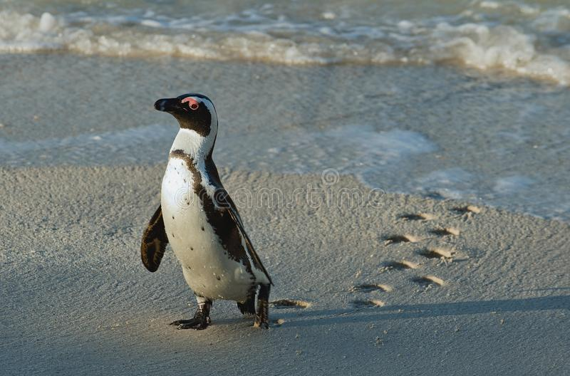 Walking African penguin (spheniscus demersus) with footprint on the wet sand. royalty free stock photos