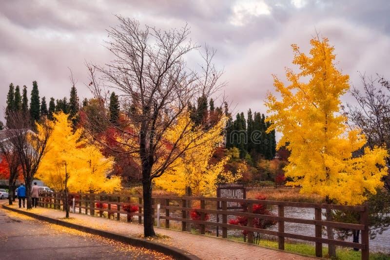 Walking in autumn on a street with yellow trees at Fujikawaguchiko, Japan stock photo