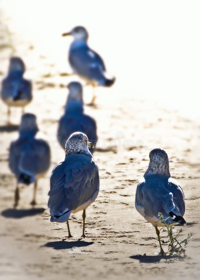 Walking Away Together. A squabble of six gulls (larus delawarensis) walking away together on the beach. The bright sunlight creates nice white copy space in the stock photo