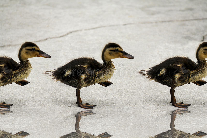 Walking Baby Ducklings stock photography
