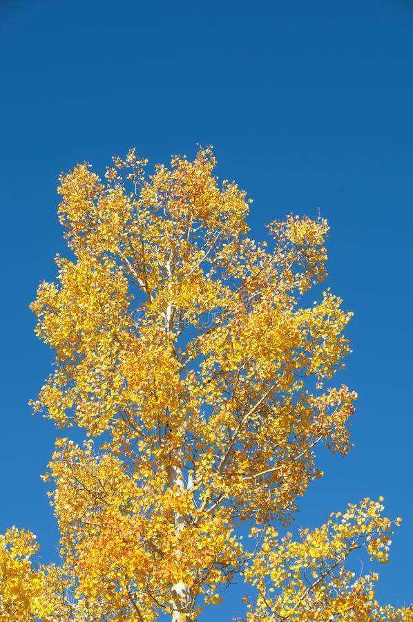 Fall Foliage on Yellow Aspen Trees showing off their Autumn Colors. Walking through the beautiful yellow leaves on aspen trees in Utah in the fall showing off royalty free stock photos