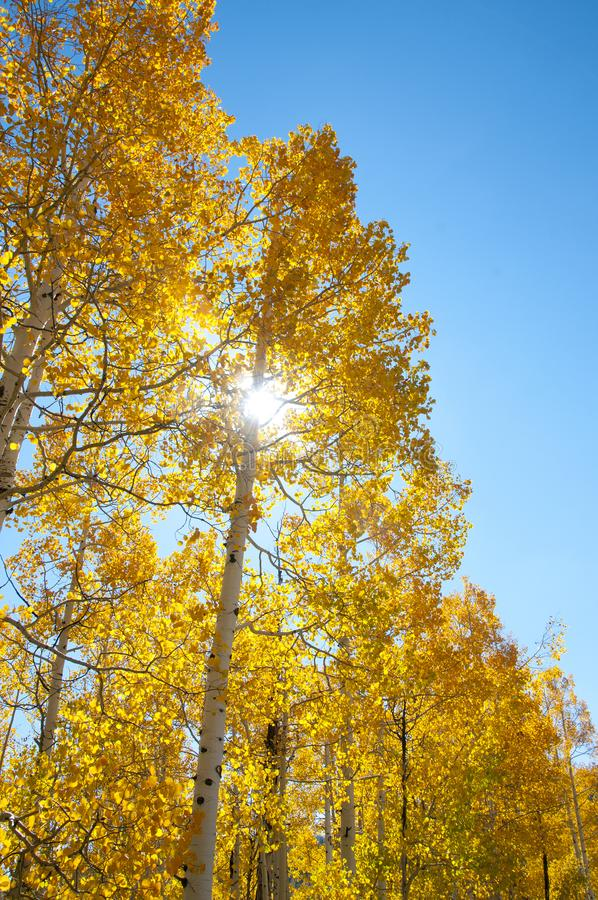 Fall Foliage on Yellow Aspen Trees showing off their Autumn Colors. Walking through the beautiful yellow leaves on aspen trees in Utah in the fall showing off stock photos