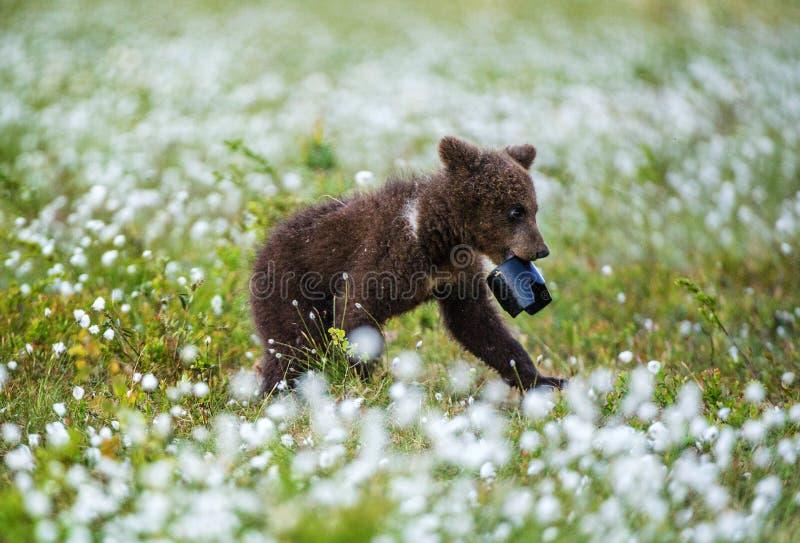 Walking Brown bear cub with lens hood. stock photos
