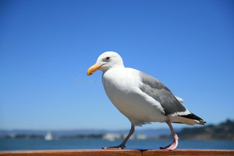 Download Walking california gull stock image. Image of blue, marinus - 6932957