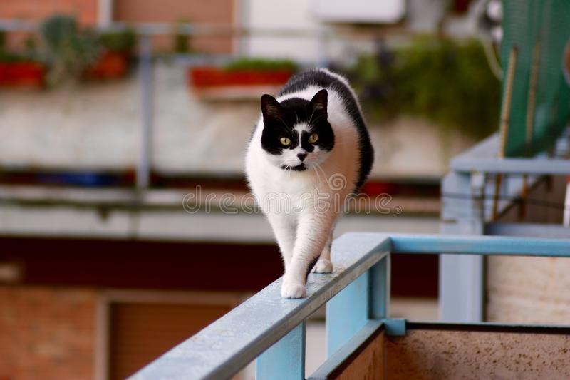 The walking cat at the balcony. Cat. Black and white. walking. looking. Balcony royalty free stock photo