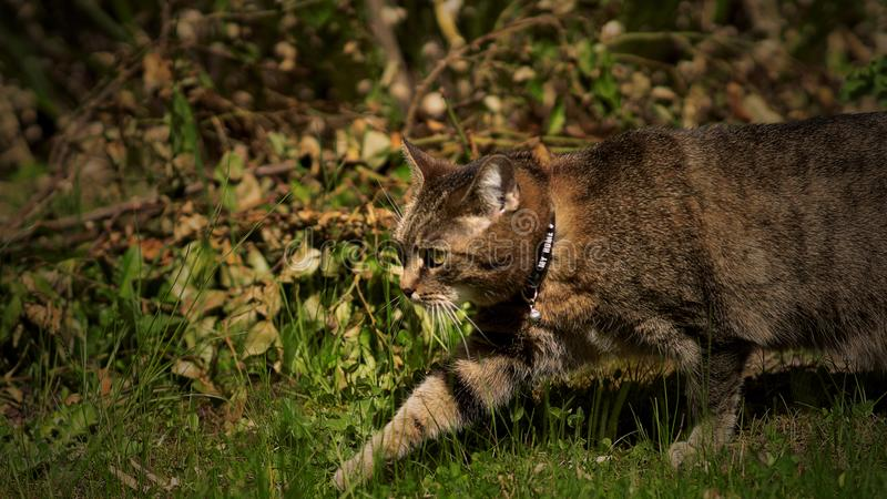 Walking cat in green gras royalty free stock photography