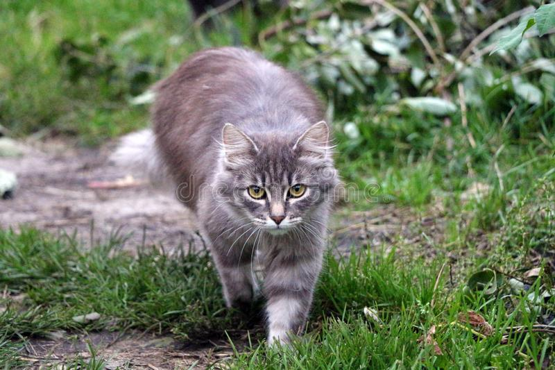 Walking cat on the green grass stock photography