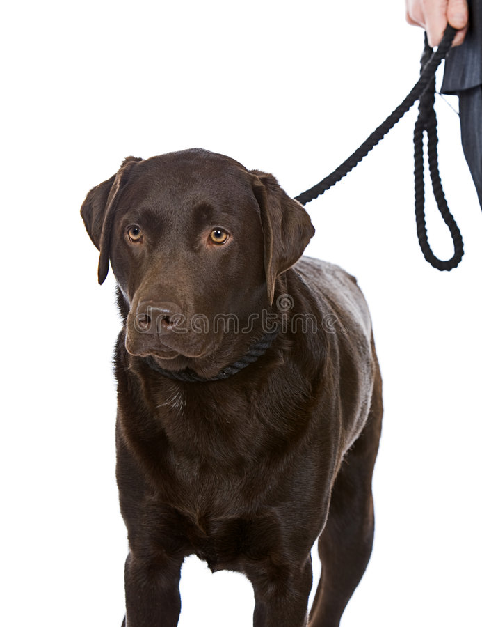 Walking Chocolate Labrador royalty free stock image