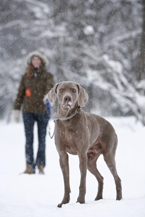 Walking a dog royalty free stock image