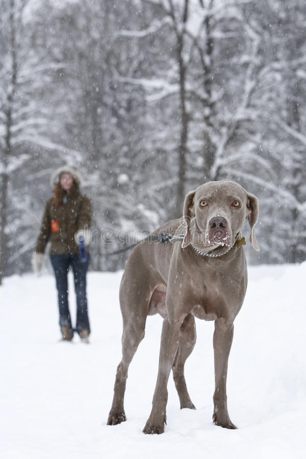 Walking a dog stock photography