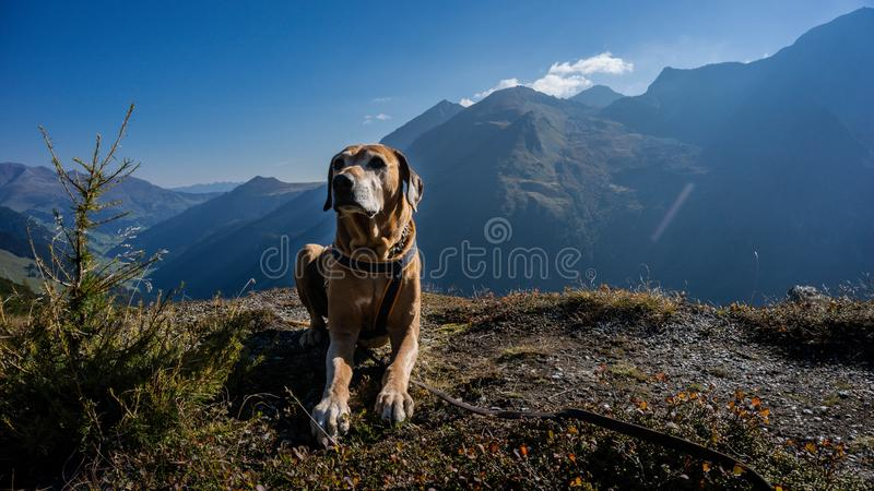 Walking with a dog at the beautiful Austrian Alps, Hintertux Glacier royalty free stock photography