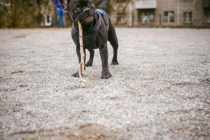 Walking the dog French Bulldog. Male host plays with his pet on the street in the yard with a stick stock photography