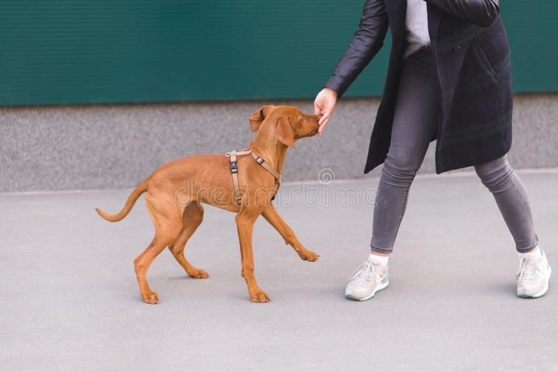 Walking with a dog on the street. Girl`s legs and brown playful dog. Pets concept. Magyar Vizsla breed stock image