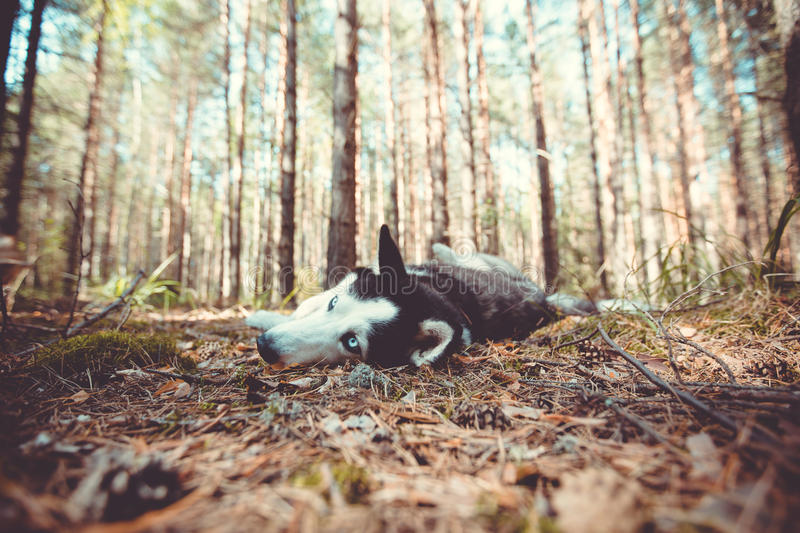 Walking the dog in the woods stock photography