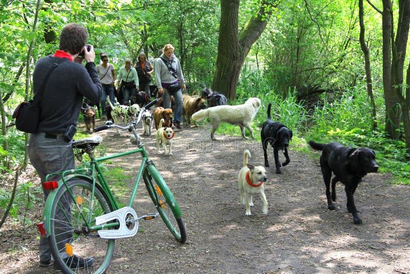 Walking dogs royalty free stock photos