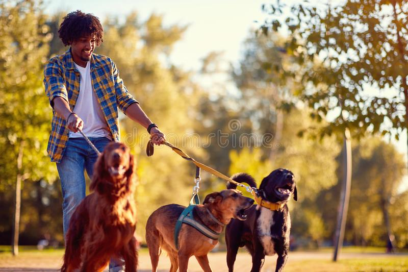 Walking dogs - man dog walker enjoying with dogs stock photos