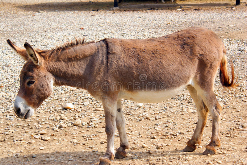 Download Walking donkey stock photo. Image of escape, rope, obedience - 16023212