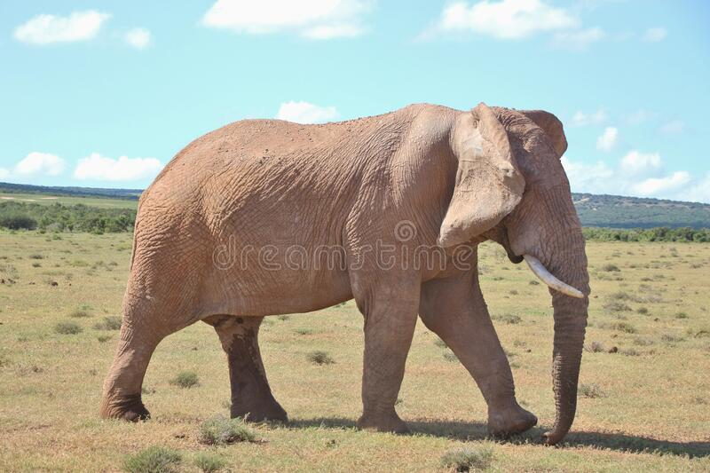 Walking Elephant in the Addo Elephant National Park, South Africa. Walking Elephant in the Addo Elephant National Park, near Port Elizabeth. South Africa royalty free stock photos
