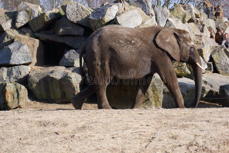 Walking elephant sand rocks monkeys sitting. Grey elephant walking mammal sand rocks sitting group monkeys zoological rough skin stock photography