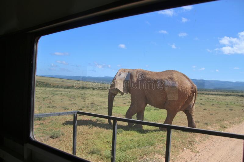 Walking Elephant in the Addo Elephant National Park, South Africa. Walking Elephant seen through the windshield of a safari jeep in the Addo Elephant National royalty free stock photos