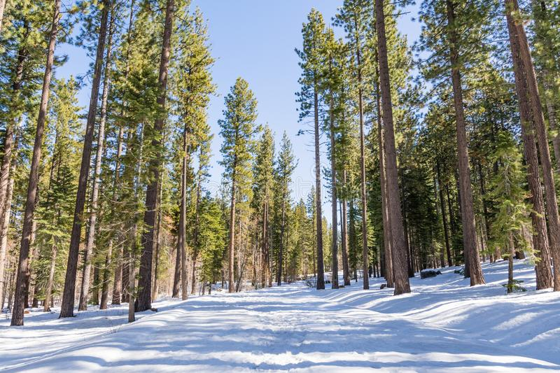 Walking through an evergreen forest on a sunny winter day, with snow covering the path, Van Sickle Bi-State Park; south Lake Tahoe. California stock photo