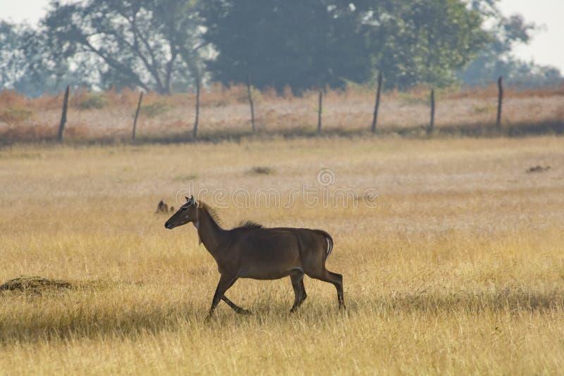Walking Female Blue Bull, India royalty free stock image