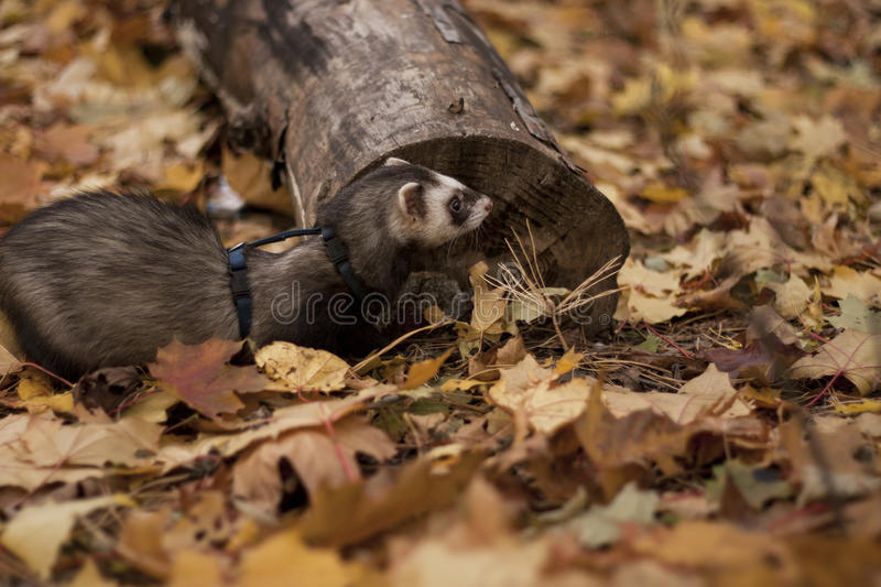 Walking with ferret stock photos