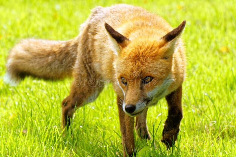 Walking Fox. An English fox walking across the grass stock photos