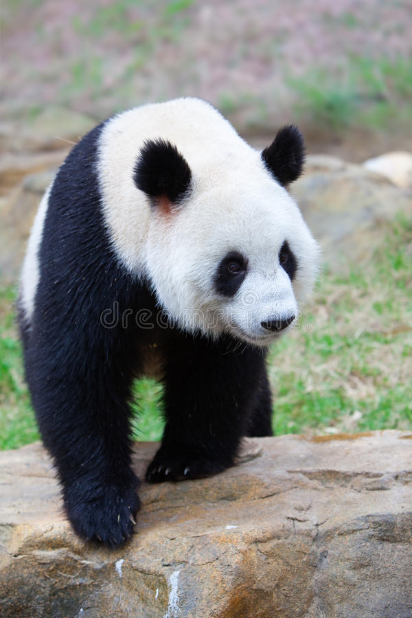 Walking giant panda royalty free stock image
