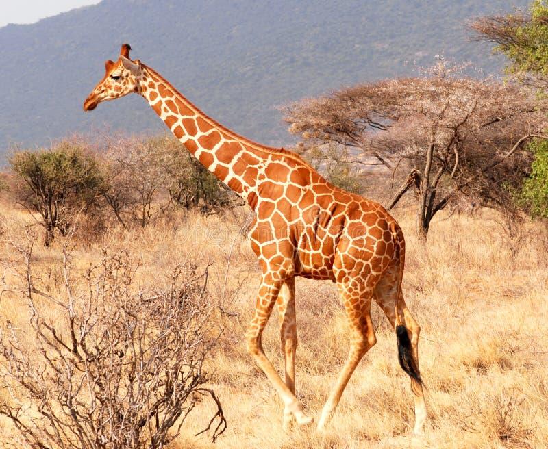 Download Walking giraffe stock image. Image of family, mammal, giraffe - 8859783