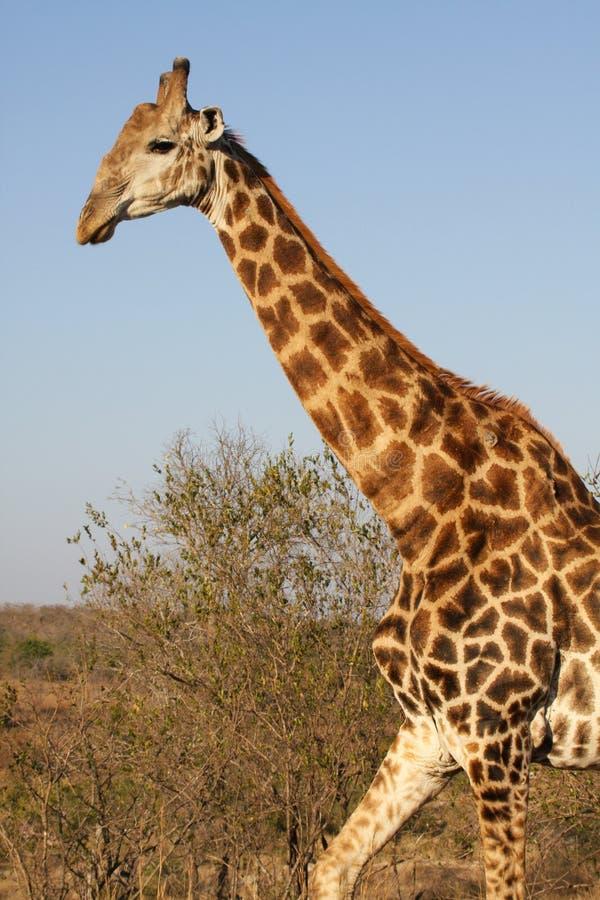 Download Walking giraffe stock photo. Image of game, park, national - 34304928