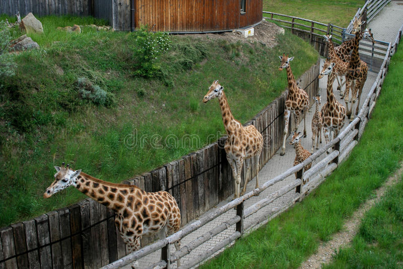 Walking giraffes herd royalty free stock photo
