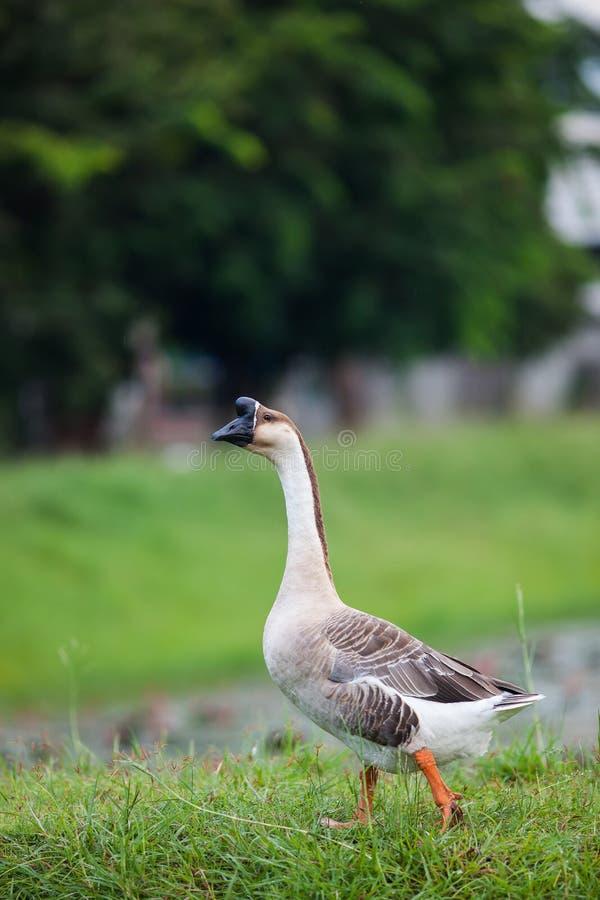 Walking goose stock image