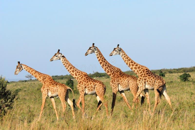 Walking group of giraffes stock image