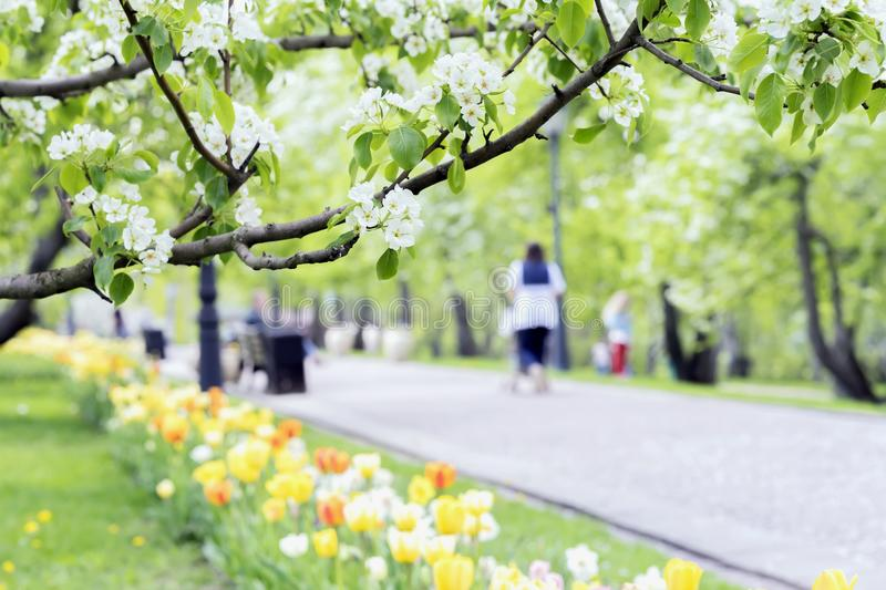 Walking happy people, families with children in park, tulips and flowers of sakura, cherry, apple blossoms, sunny day. Walking happy people, families with stock photos