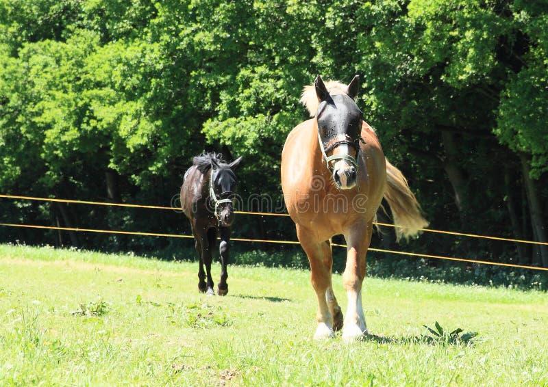 Walking horses royalty free stock images