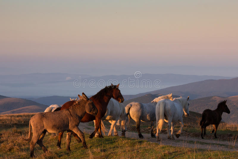 Walking horses at the sunset stock photos
