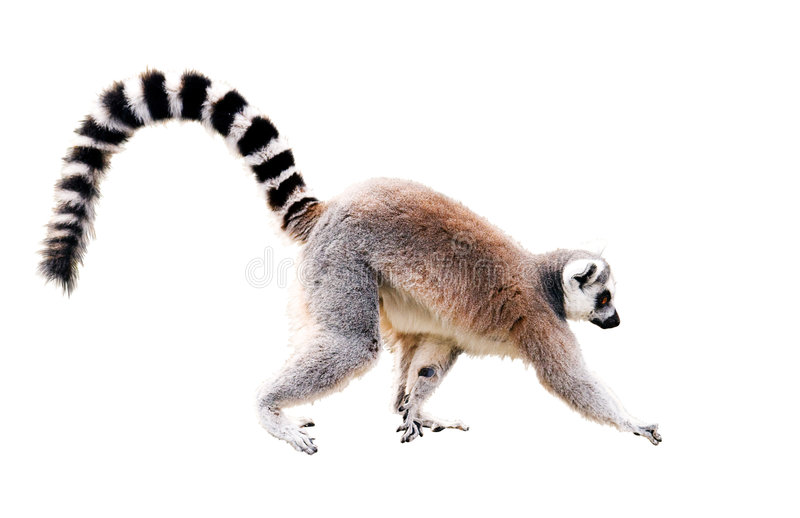Walking lemur royalty free stock images