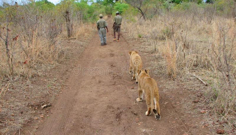 Walking with lions. Walking with young lions in gamereserve Zimbabwe royalty free stock photos