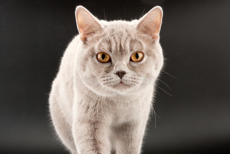 Walking Little Tabby Kitten Stock Photography