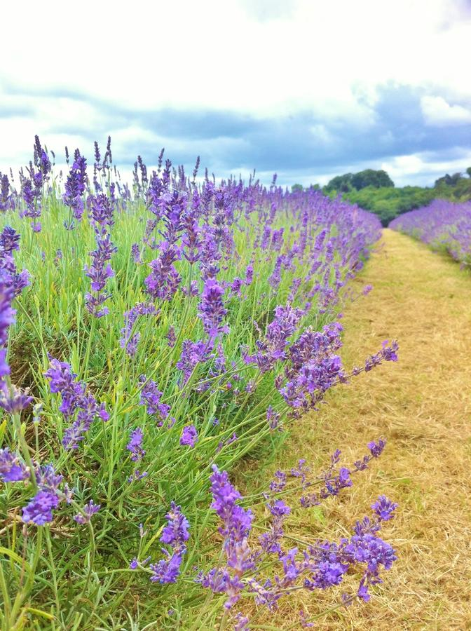 Mayfield lavender farm in Summer. Guildford, United Kingdom stock image
