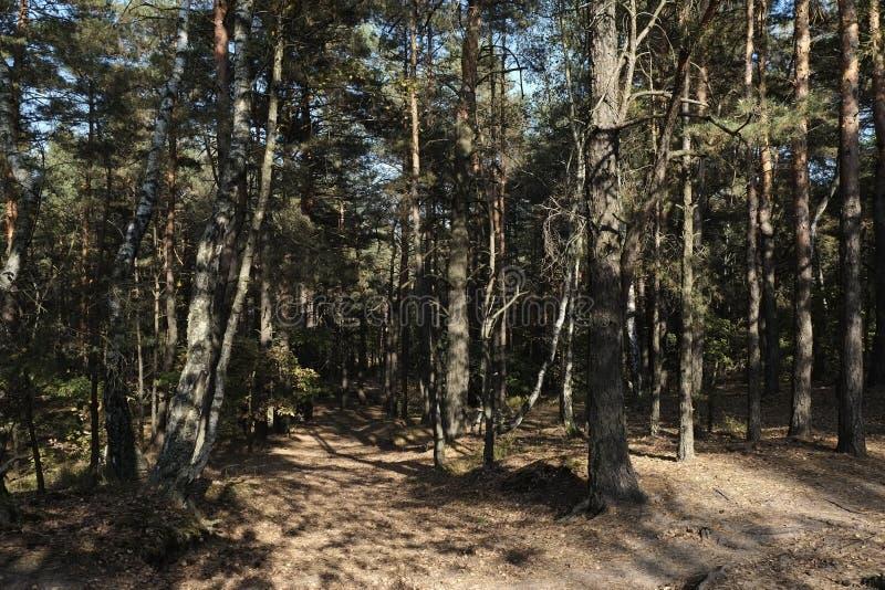 Walking Path. A walking path through a grove of pine trees stock photos