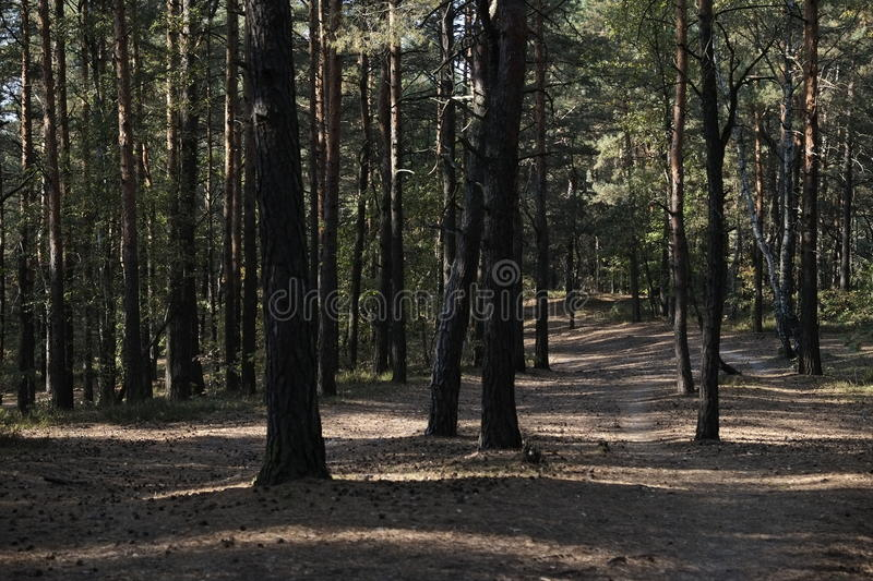 Walking Path. A walking path through a grove of pine trees stock photography