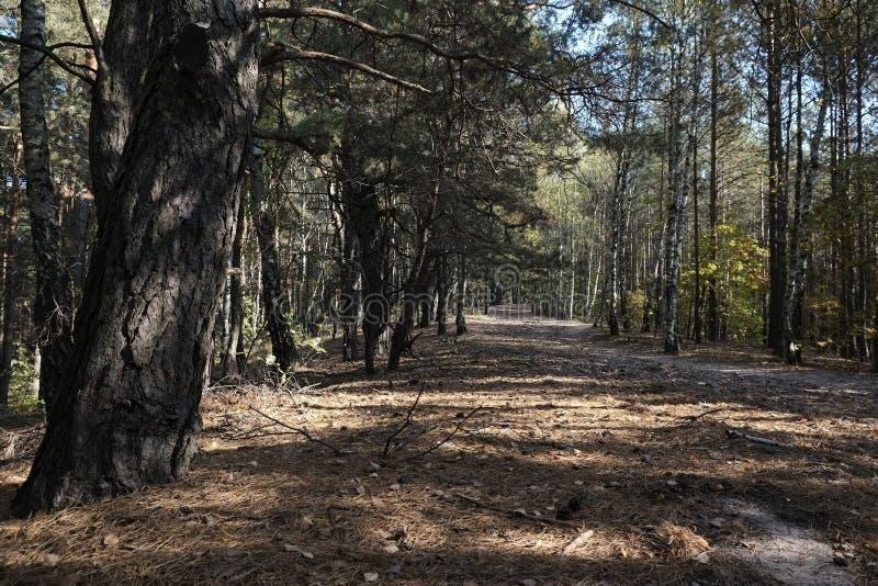 Walking Path. A walking path through a grove of pine trees royalty free stock photos