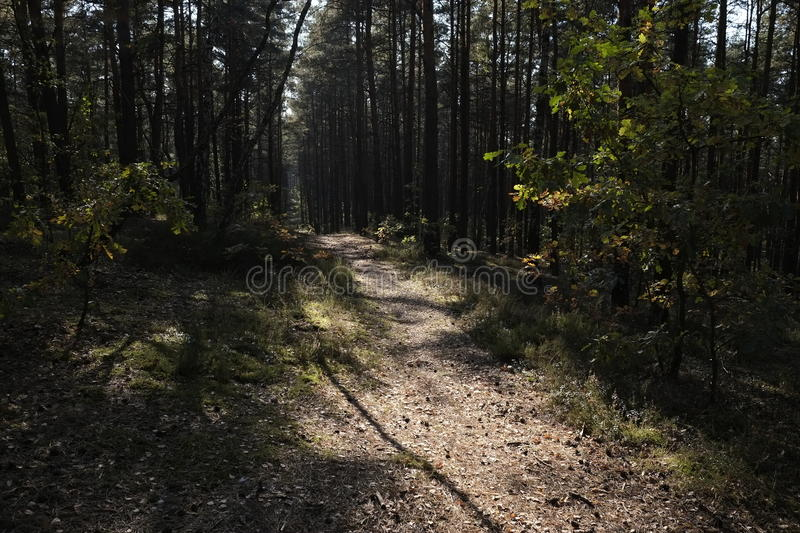 Walking Path. A walking path through a grove of pine trees stock image
