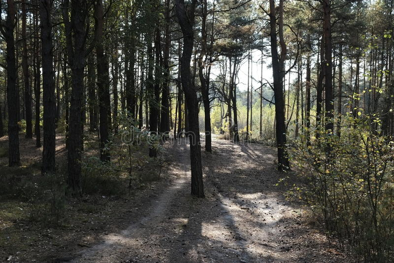 Walking Path. A walking path through a grove of pine trees stock photo