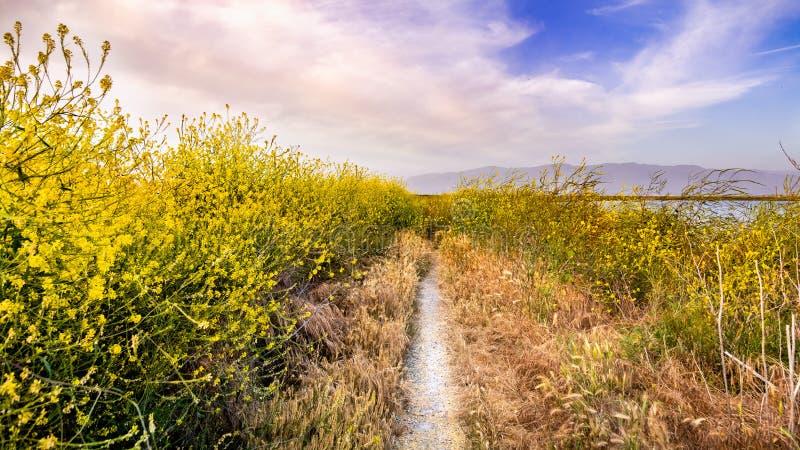 Walking path lined up with Black mustard Brassica nigra wildflowers, San Jose, San Francisco bay area, California royalty free stock photography