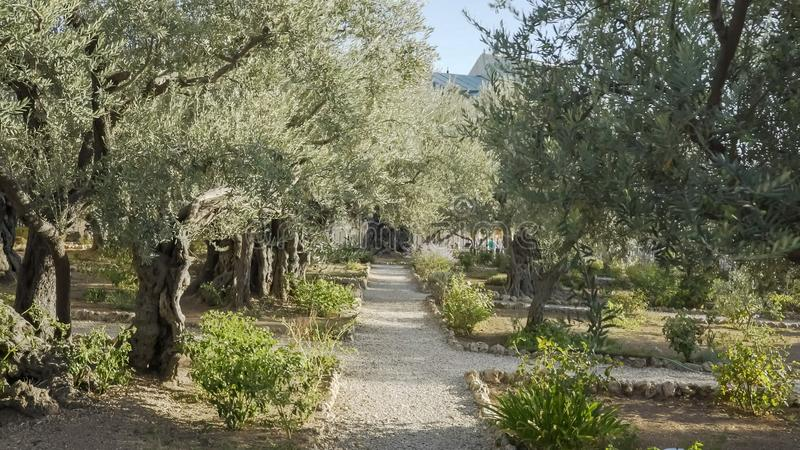 Walking path and olive trees in garden of gethsemane royalty free stock image