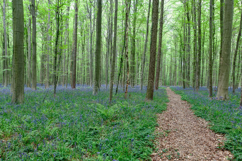 Walking path between the trees and bluebells stock photography