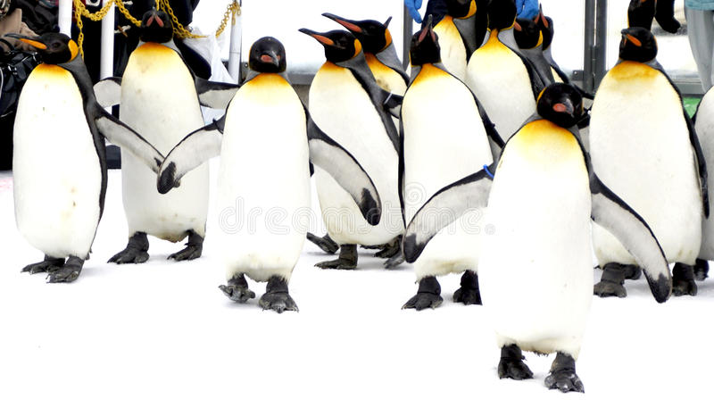 Walking Penquin parade animal on snow winter stock photo